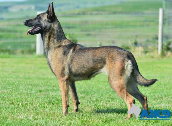 A1K9 Family Protection Dog Angel Stand