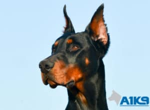 A1K9 Family Protection Dog Dobermann Rocco Head