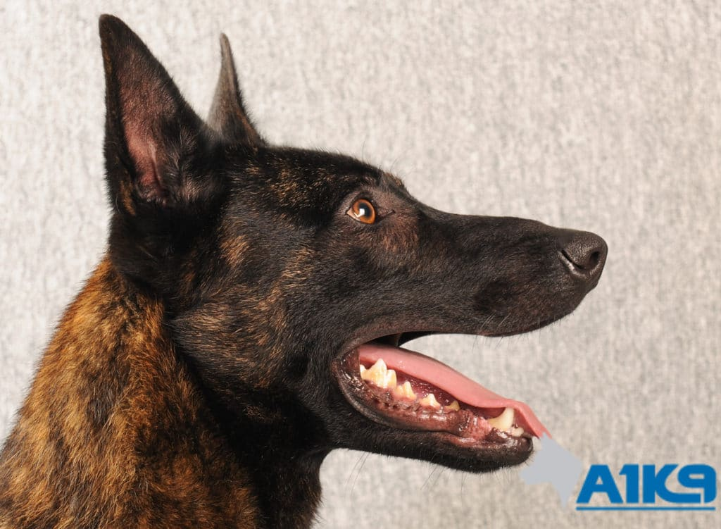 A1K9 Family Protection Dog Dutch Herder Duval