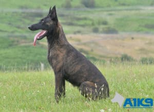 A1K9 Family Protection Dog Kaatje Sit