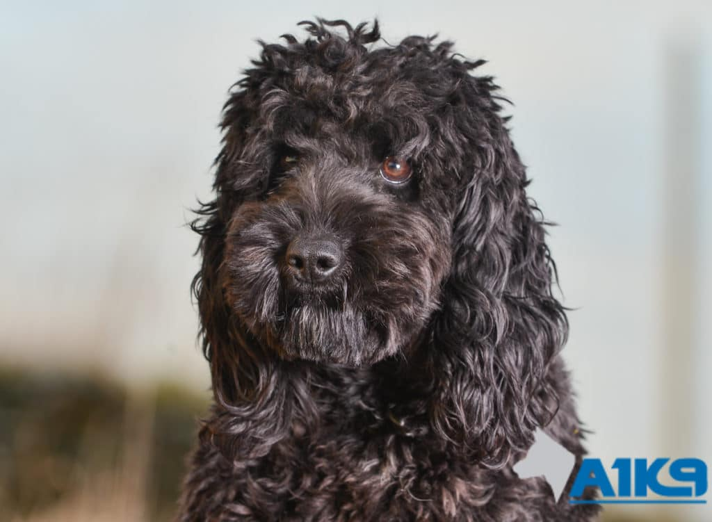 A1K9 Obedient Pet Gertie Cockapoo Head