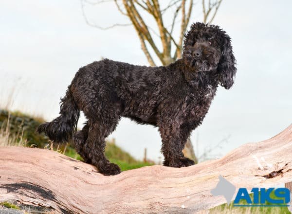 A1K9 Obedient Pet Gertie Cockapoo Stand