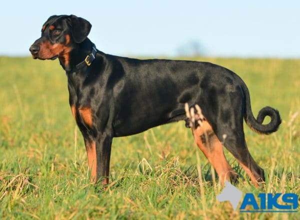 A1K9 Trained Obedient Pet Dobermann Monty Stand