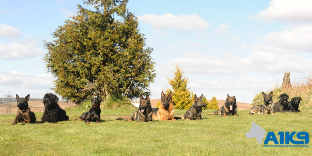 A1K9 Personal and Family protection dogs