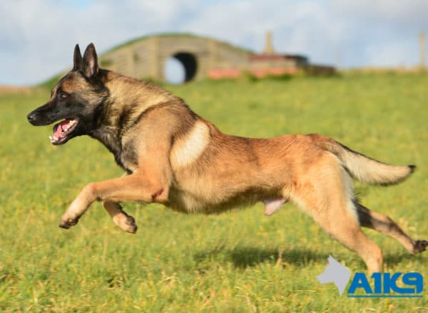 A1K9-Family-Protection-Dog-App-Run-3398