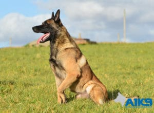 A1K9-Family-Protection-Dog-App-Sit-3356