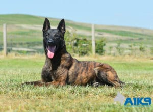 A1K9-Family-Protection-Dog-Duval-Down-4462