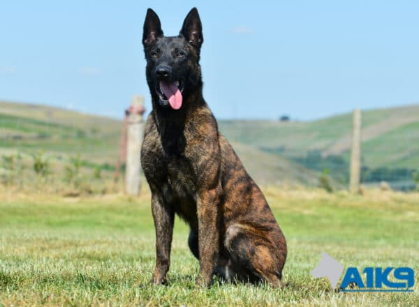 A1K9-Family-Protection-Dog-Duval-Sit-4456