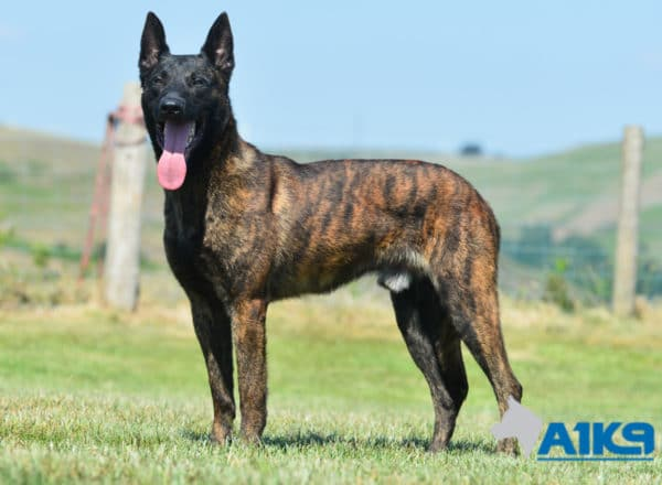A1K9-Family-Protection-Dog-Duval-Stand-4470