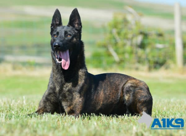 A1K9-Family-Protection-Dog-Kaatje-Down-4560