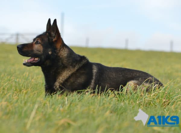 A1K9-Family-Protection-Dog-Lex-Down-2944