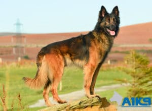 A1K9-Family-Protection-Dog-Malinois-Bor-2084