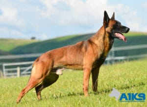 A1K9-Family-Protection-Dog-Malinois-Quinn-Stand-4968