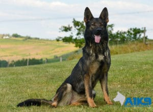 A1K9-Family-Protection-Dog-Mia-Sit-4803