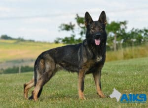 A1K9-Family-Protection-Dog-Mia-Stand-4820
