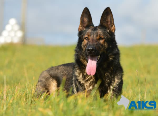 A1K9-Family-Protection-Dog-Pinda-Down-3173