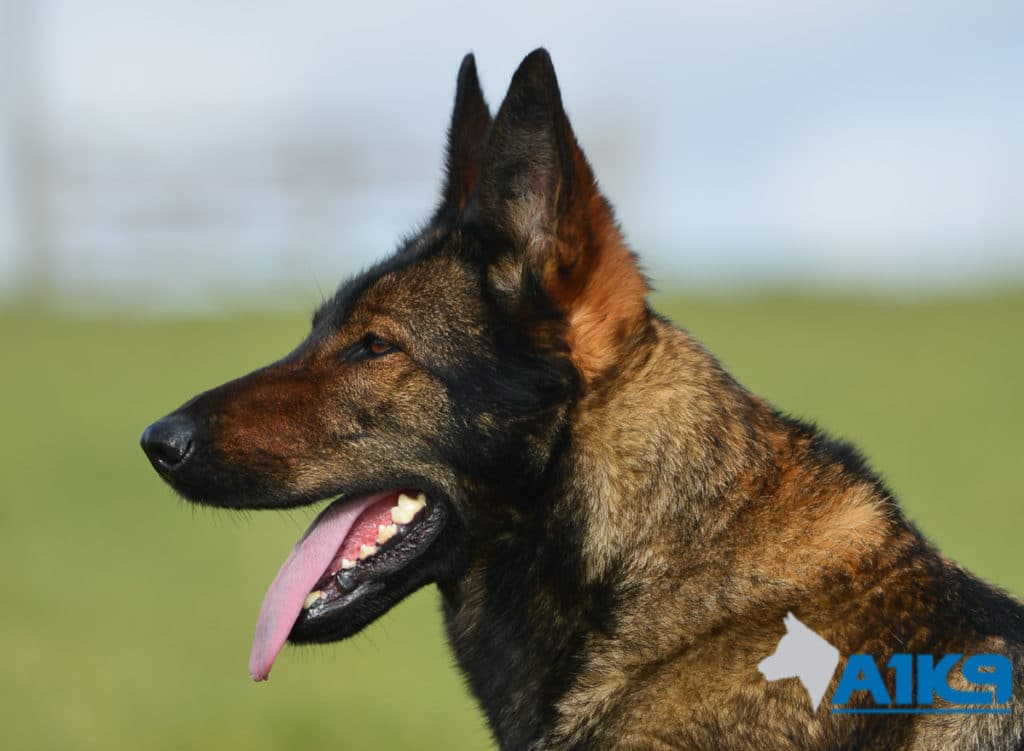 A1K9-Family-Protection-Dog-Pinda-Head-3160