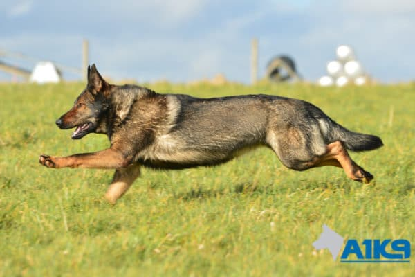A1K9-Family-Protection-Dog-Pinda-Run-3245
