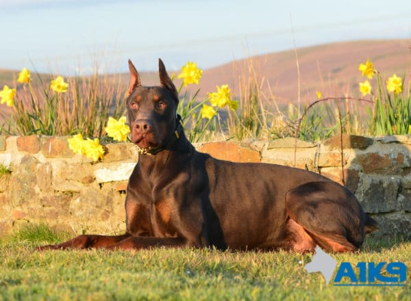A1K9 Family protection Dog Thor lying down