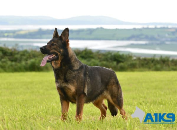 A1K9 Family protection dog Dora standing