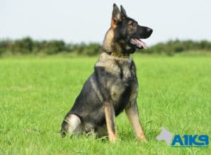 A1K9-Family-Protection-Dog-Agi-Sit-7383