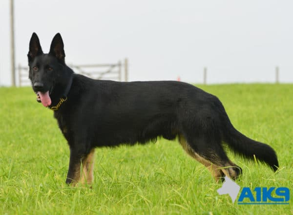 A1K9-Family-Protection-Dog-Aris-Stand-7172