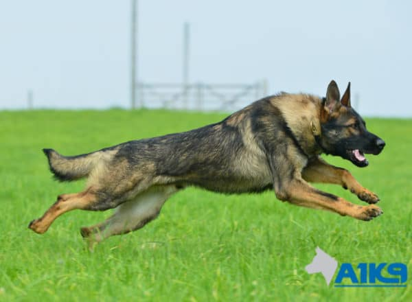 A1K9 Family Protection Dog Bax Run