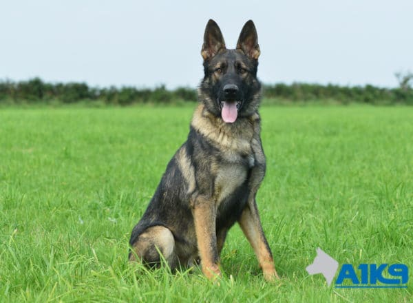 A1K9 Family Protection Dog Bax Sit