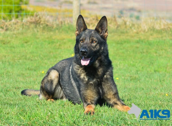 A1K9-Family Protection Dog Chico Down