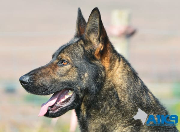 A1K9-Family Protection Dog Chico Head