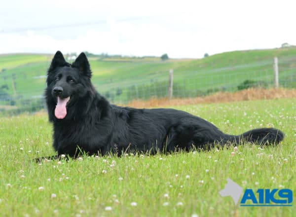 A1K9-Family Protection Dog Hart Down