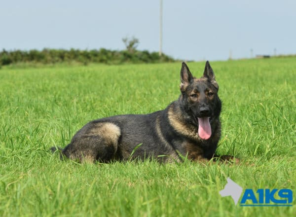A1K9 Family Protection Dog Mishka Down