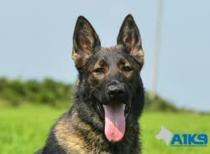 A1K9 Family Protection Dog Mishka Head