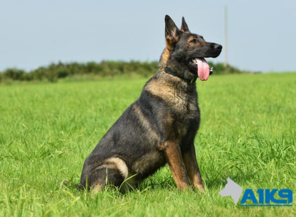 A1K9 Family Protection Dog Mishka Sit