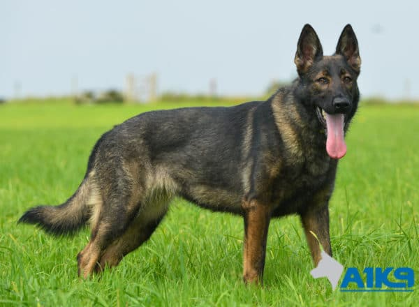 A1K9 Family Protection Dog Mishka Stand