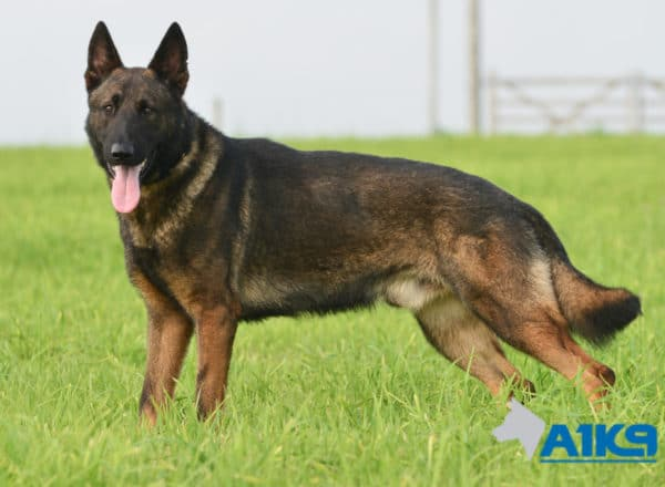 A1K9 Family Protection Dog Nico Stand