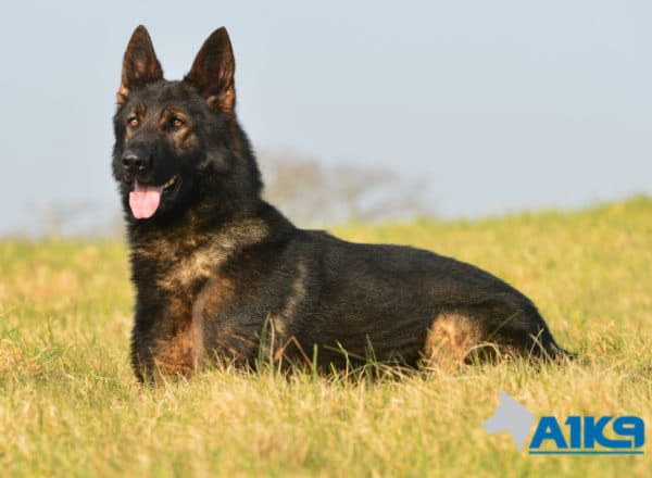 A1K9 Family Protection Dog Athos Down