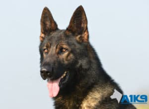 A1K9 Family Protection Dog Athos Head
