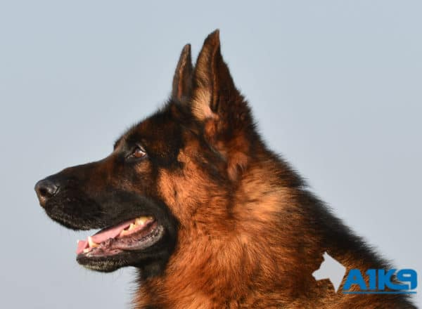 A1K9 Family Protection Dog Buddy Head