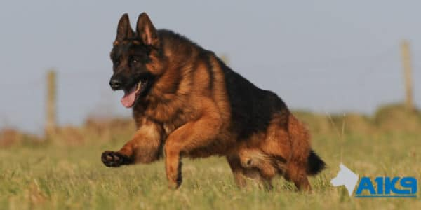 A1K9 Family Protection Dog Buddy Run