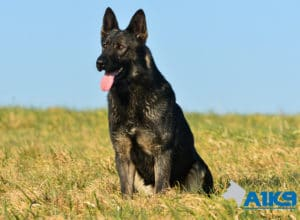 A1K9 Family Protection Dog Cara Sit