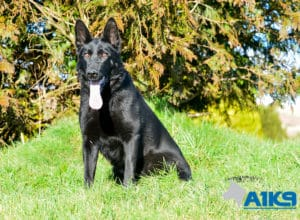 A1K9 Family Protection Dog Donna Sit