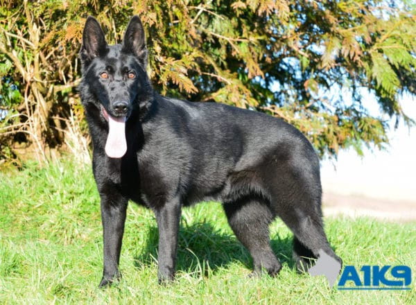 A1K9 Family Protection Dog Donna Stand