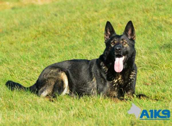 A1K9 Family Protection Dog Indie Down