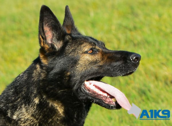 A1K9 Family Protection Dog Indie Head
