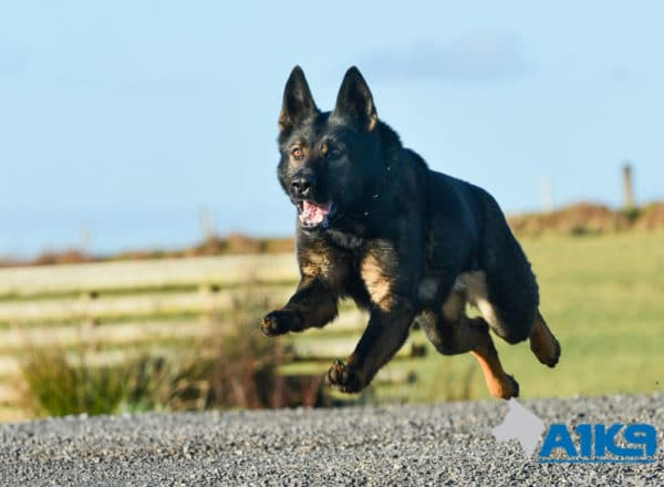 A1K9 Family Protection Dog Indie Run