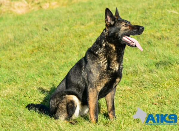 A1K9 Family Protection Dog Indie Sit