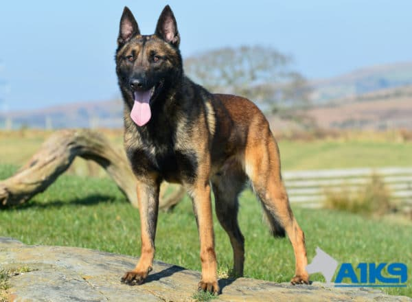A1K9 Family Protection Dog Marty Stand