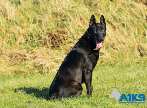 A1K9 Family Protection Dog Moon Sit