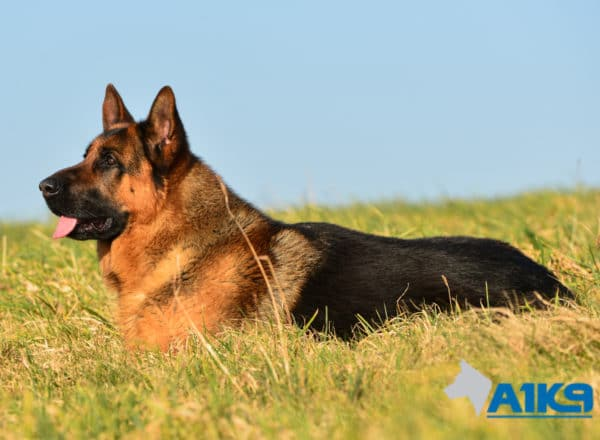 A1K9 Family Protection Dog Rocky Down